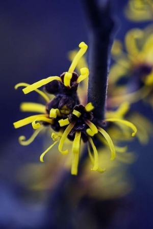 Yellow buds on blue background